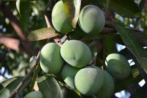 Mangoes in Rev. Kimbo's farm.