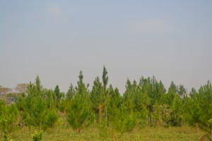 Young Pine trees in his farm