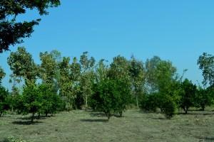 Tall Teak trees in his farm
