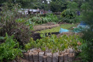 A section of Ms. Kitula's tree nursery in Igoma.