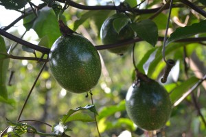 Passion fruits in Bishop Kitula's farm