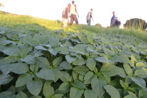 Thriving amaranthus crop