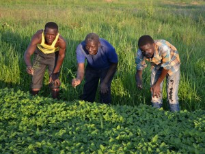 Young people weeding the Amaranthus crop