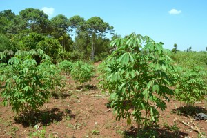 A thriving cassava crop belonging to one community member