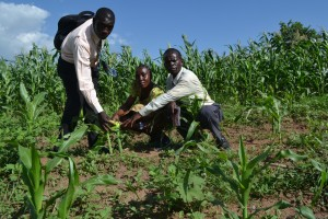 The OAIC Rorya team inspecting the maize crop and counting their losses after the attack.